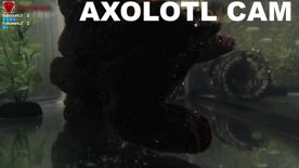Axolotl Cam 1