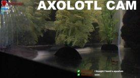 Axolotl Cam 2
