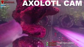 Axolotl Cam 3