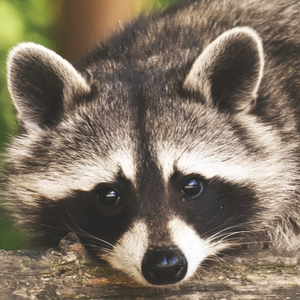 premiere_raccoon