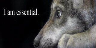 Profile banner for wolfconservationcenter