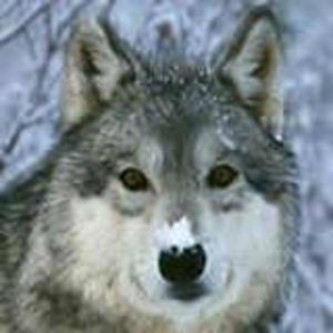 Scheuer_Wolf Logo