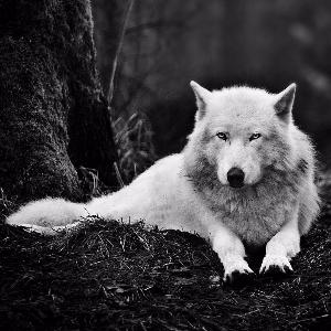 wolf_perception