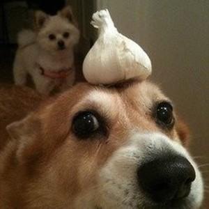 garlicdogdota