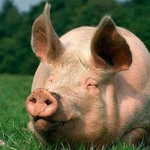 View pigporker's Profile